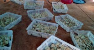 La producción avícola en los Centros de Corrección y Rehabilitación del NMPD